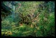 Hoh Rainforest VII.jpg
