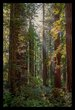 Light in the Redwoods V.jpg