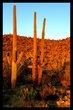 Saguaro Sunset II.jpg