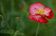 a poppy-5119facebook-45f80.jpg