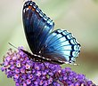 0066 Blue Butterfly Purple Hyacinth.jpg