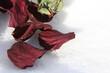 0402 Rose in Snow.jpg
