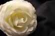 2420 roses.jpg