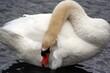 4754 Posing Swan.jpg