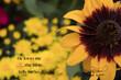 4976 Sunflower Autmn He loves me .jpg