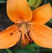 7278 Tiger Lily.jpg