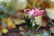Dying flower 6631(1).jpg