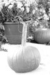 Pumpkin BW 6550.jpg