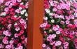petunias red whi blue5552(1).jpg