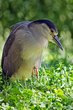 Black Crowned Night Heron (DLM_20140607_021_0032_web).jpg