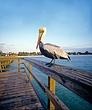 Pelican  Naples Pier3-1.jpg