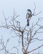 16 x 20 blue bird El Capitan sept 2020 -6599.jpg