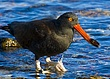 Blackish Oystercatcher With Catch.jpg