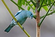 Blue Gray Tanager.jpg