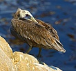 Brown Pelican, Immature.jpg