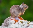 California Ground Squirrel.jpg