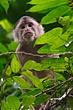Capuchin.jpg