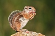 Harris Antelope Ground Squirrel 1.jpg