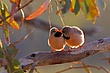 Long-tailed Finches Allopreening.jpg