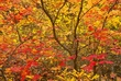 Maple Leaves Along Metolius River 1.jpg