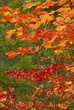 Maple Leaves Along Metolius River 2.jpg