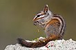Merriams Chipmunk.jpg