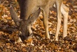 Mule Deer In Oak Leaves.jpg