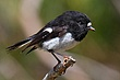 North Island Tomtit 2.jpg