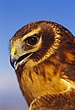 Northern Harrier, Immature.jpg