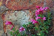 Penstemon And Stone.jpg