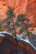 Pines In Refrigerator Canyon.jpg