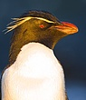 Rockhopper Penguin Head Detail 1.jpg
