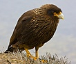 Striated Caracara 3.jpg