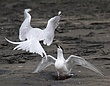 White Fronted Terns 1.jpg