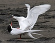 White Fronted Terns 2.jpg