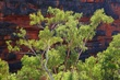 Windjana Eucalypts 1.jpg