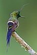 Wire Crested Thorntail Male.jpg