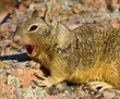 Yawning California Ground Squirrel.jpg