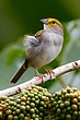 Yellow Browed Sparrow.jpg