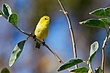Yellow White-Eye 1.jpg