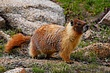 Yellow-bellied Marmot.jpg