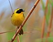 Beldings Yellowthroat Male 5.jpg