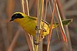 Beldings Yellowthroat Male 6.jpg