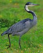 Black Headed Heron 1.jpg