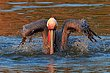 Brown Pelican Bath.jpg