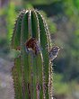 Cactus Wren At Home.jpg
