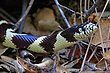 California Kingsnake 1a.jpg