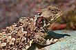 Coastal Horned Lizard 2.jpg