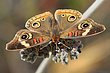 Common Buckeye.jpg