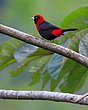 Crimson Collared Tanager.jpg